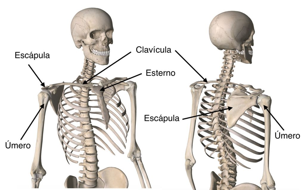 Anatomia Do Ombros Ortopedista Em Curitiba Especialista Em